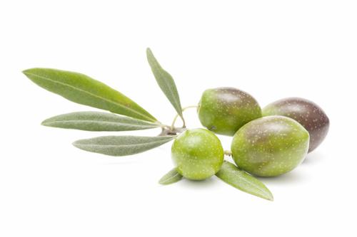 Variété d'olive corse Ghjermana. Domaine de Vignale