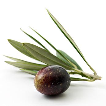Variété d'olive corse. Domaine de Vignale